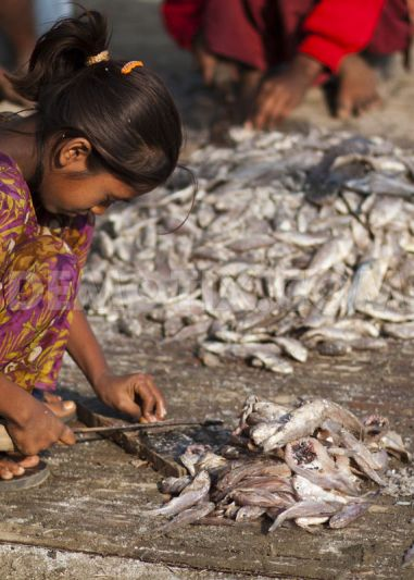 Dry fish processing :Photo courtesy - www.demotix.com/Zakir Hossain  Chowdhury